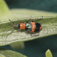 Dicranolaius bellulus (Red and Blue Pollen Beetle) at Higgins, ACT - 29 Jan 2021 by AlisonMilton