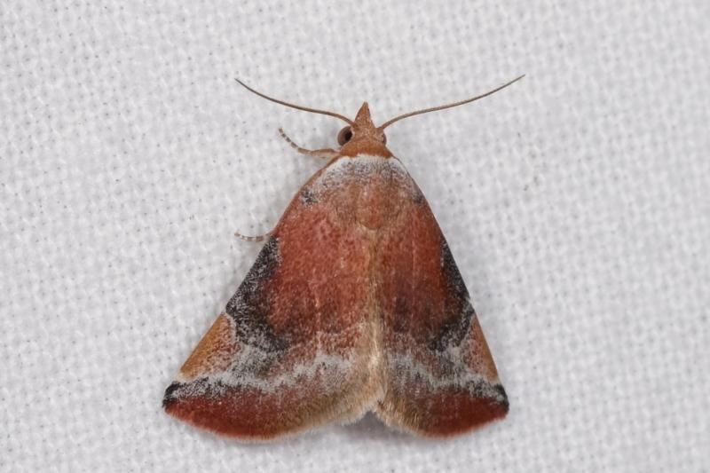 Mataeomera coccophaga at Melba, ACT - 19 Jan 2021