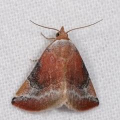 Mataeomera coccophaga (Brown Scale-moth) at Melba, ACT - 18 Jan 2021 by kasiaaus
