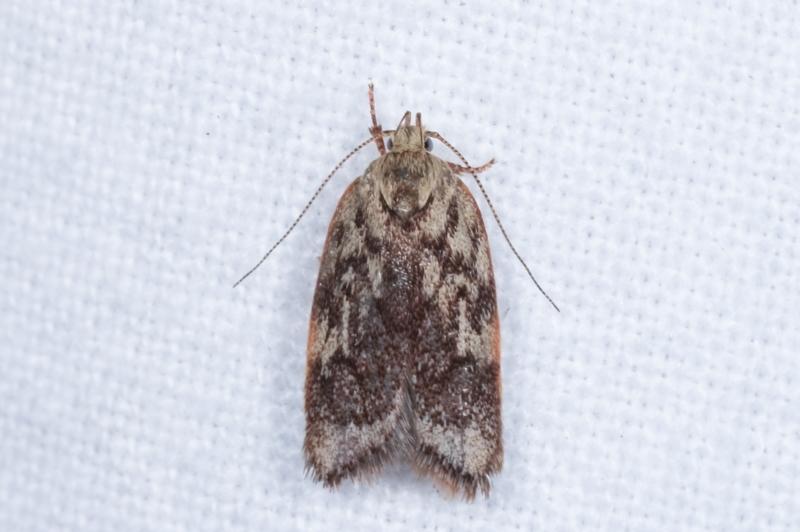 Garrha (genus) at Melba, ACT - 19 Jan 2021
