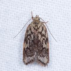 Garrha (genus) (A concealer moth) at Melba, ACT - 18 Jan 2021 by kasiaaus