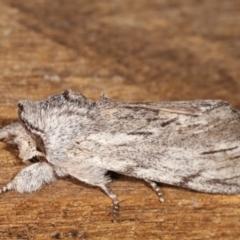 Destolmia lineata (Streaked Notodontid) at Melba, ACT - 18 Jan 2021 by kasiaaus