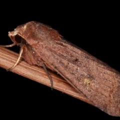 Diarsia intermixta (Chevron Cutworm) at Melba, ACT - 18 Jan 2021 by kasiaaus