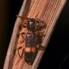 Opilo (genus) (Checkered beetle) at Melba, ACT - 18 Jan 2021 by kasiaaus