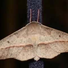 Antictenia punctunculus (A geometer moth) at Melba, ACT - 18 Jan 2021 by kasiaaus