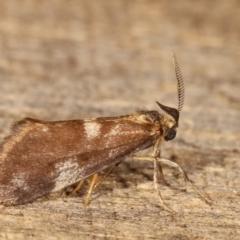 Anestia (genus) (A tiger moth) at Melba, ACT - 18 Jan 2021 by kasiaaus
