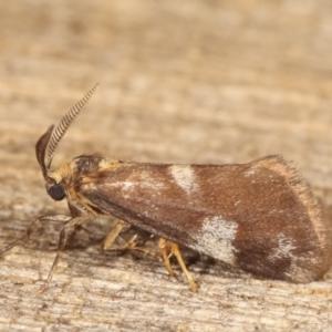 Anestia (genus) at Melba, ACT - 19 Jan 2021