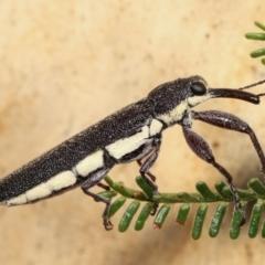 Rhinotia phoenicoptera (Belid weevil) at Melba, ACT - 19 Jan 2021 by kasiaaus