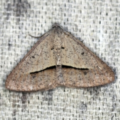 Isturgia penthearia (Delta Geometrid) at O'Connor, ACT - 30 Jan 2021 by ibaird