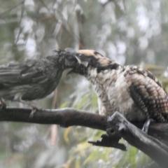 Eudynamys orientalis (Eastern Koel) at Aranda, ACT - 29 Jan 2021 by KMcCue