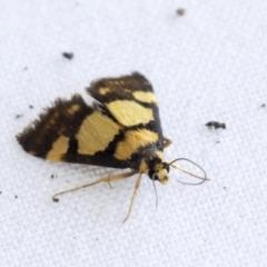 Deuterarcha xanthomela (A Crambid moth (Spilomelinae)) at Higgins, ACT - 20 Jan 2021 by AlisonMilton