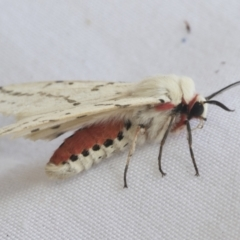 Spilosoma canescens (Light Ermine or Dark-spotted Tiger Moth) at Higgins, ACT - 20 Jan 2021 by AlisonMilton
