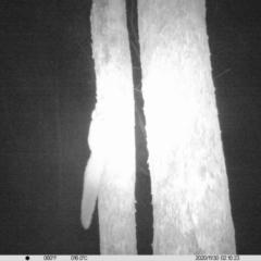 Petaurus norfolcensis (Squirrel Glider) at Albury - 29 Nov 2020 by ChrisAllen