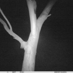 Petaurus norfolcensis (Squirrel Glider) at Albury - 10 Dec 2020 by ChrisAllen