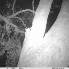 Petaurus norfolcensis (Squirrel Glider) at Eight Mile Creek - 4 Dec 2020 by ChrisAllen