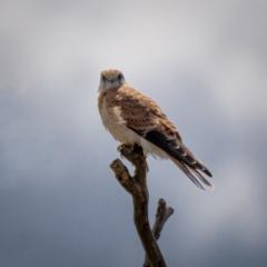 Falco cenchroides (Nankeen Kestrel) at Mount Majura - 30 Jan 2021 by trevsci