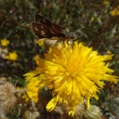 Ocybadistes walkeri (Greenish Grass-dart) at Sth Tablelands Ecosystem Park - 31 Jan 2021 by AndyRussell
