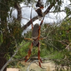 Nephila edulis (Golden orb weaver) at Molonglo Valley, ACT - 31 Jan 2021 by AndyRussell