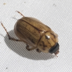 Cyclocephala signaticollis (Argentinian scarab) at Higgins, ACT - 20 Jan 2021 by AlisonMilton