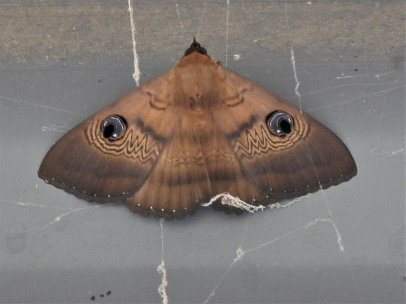 Dasypodia selenophora at Tidbinbilla Nature Reserve - 31 Jan 2021