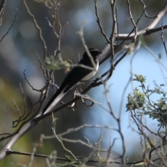 Rhipidura leucophrys (Willie Wagtail) at Wodonga - 29 Jan 2021 by PaulF