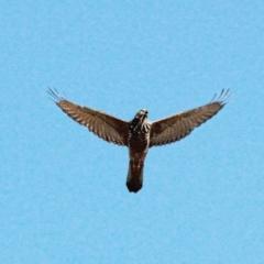 Accipiter fasciatus (Brown Goshawk) at Throsby, ACT - 30 Jan 2021 by davobj