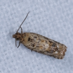 Isochorista ranulana (A Tortricid moth) at Melba, ACT - 19 Jan 2021 by kasiaaus