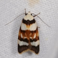 Catacometes phanozona (A Concealer moth) at Melba, ACT - 20 Jan 2021 by kasiaaus