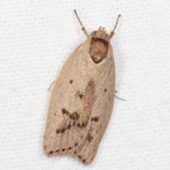 Heliocausta undescribed species (A concealer moth) at Melba, ACT - 20 Jan 2021 by kasiaaus