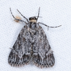 Spectrotrota fimbrialis (A Pyralid moth) at Melba, ACT - 20 Jan 2021 by kasiaaus