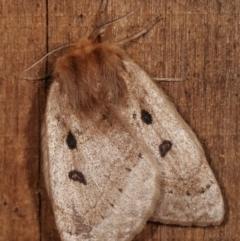 Anthela ocellata (Eyespot anthelid moth) at Melba, ACT - 20 Jan 2021 by kasiaaus