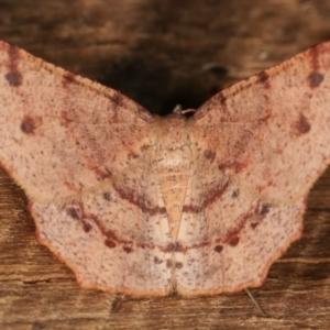Rhinodia rostraria at Melba, ACT - 21 Jan 2021