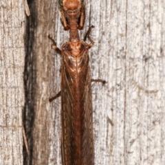 Mantispidae (family) at Melba, ACT - 21 Jan 2021