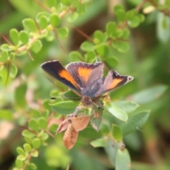 Paralucia aurifer (Bright Copper) at Mongarlowe, NSW - 31 Jan 2021 by LisaH