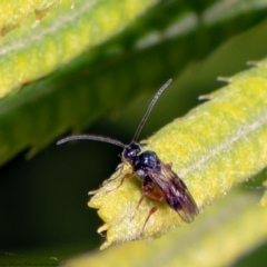 Cotesia glomerata (Glomerata Wasp) at Macgregor, ACT - 31 Jan 2021 by Roger