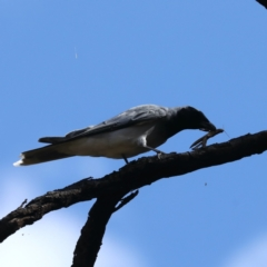 Coracina novaehollandiae (Black-faced Cuckooshrike) at Mount Ainslie - 30 Jan 2021 by jbromilow50