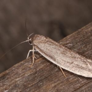 Unidentified Oecophoridae group 2 at Melba, ACT - 21 Jan 2021