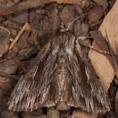 Persectania ewingii (Southern Armyworm) at Melba, ACT - 21 Jan 2021 by kasiaaus