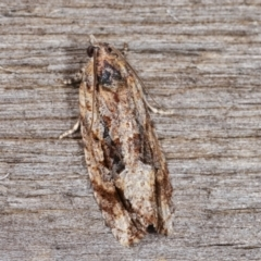 Thrincophora lignigerana (A Tortricid moth) at Melba, ACT - 21 Jan 2021 by kasiaaus