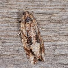 Thrincophora lignigerana (A Tortricid moth) at Melba, ACT - 21 Jan 2021 by kasiaaus