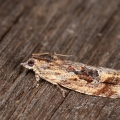 Thrincophora lignigerana at Melba, ACT - 22 Jan 2021