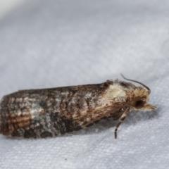 Cryptoptila immersana (A Tortricid moth) at Melba, ACT - 21 Jan 2021 by kasiaaus
