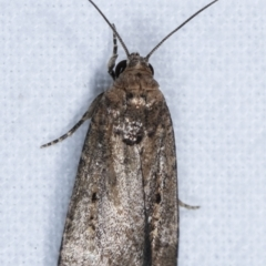 Athetis tenuis (A Noctuid moth) at Melba, ACT - 21 Jan 2021 by kasiaaus