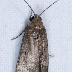 Athetis tenuis (A Noctuid moth) at Melba, ACT - 21 Jan 2021 by kasiaaus