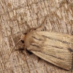 Leucania diatrecta (A Noctuid moth) at Melba, ACT - 21 Jan 2021 by kasiaaus