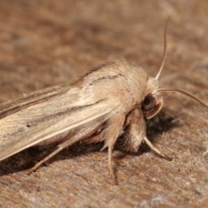 Leucania diatrecta at Melba, ACT - 22 Jan 2021
