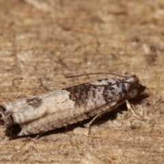 Crocidosema plebejana (Cotton Tipworm Moth) at Melba, ACT - 21 Jan 2021 by kasiaaus