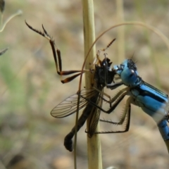Leptogaster sp. (genus) (Robber fly) at Isobella Pond - 31 Jan 2021 by Christine
