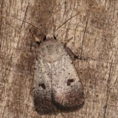 Proteuxoa tibiata (An Owlet moth) at Melba, ACT - 22 Jan 2021 by kasiaaus