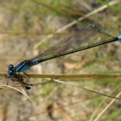 Ischnura heterosticta (Common Bluetail) at Isabella Pond - 31 Jan 2021 by Christine
